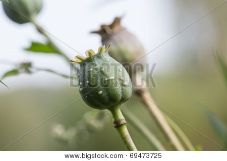 harvest of opium from green poppy