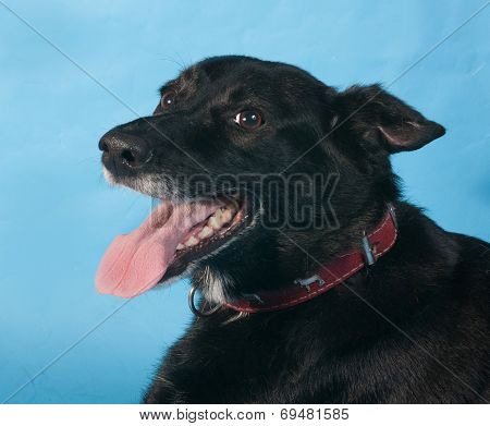 Black Dog In Red Collar On Blue Background