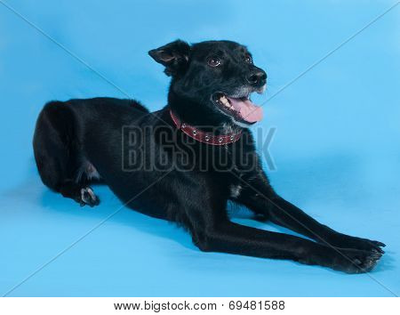 Black Dog In Red Collar Lying On Blue