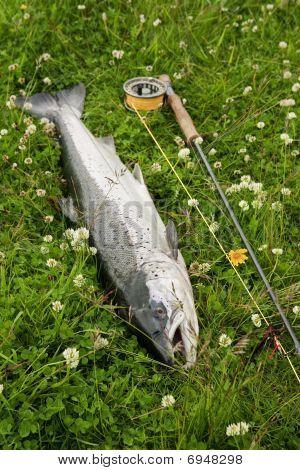 Freshly Caught Atlantic Salmon