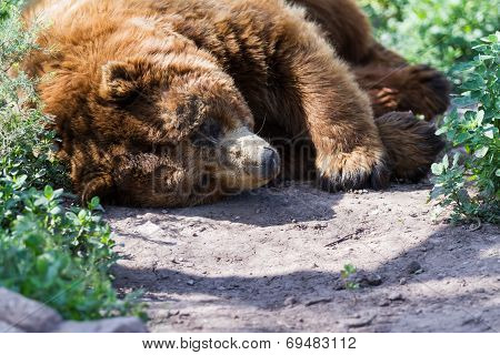 Adult Brown Bear