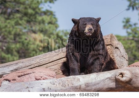 Adult Black Bear