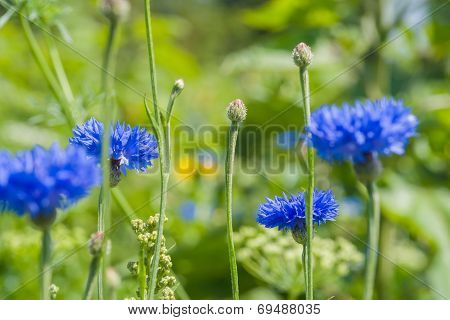 Cornflowers On A Field In Summer