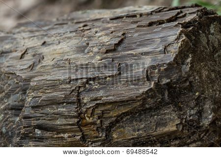 Petrified Wood