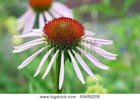 Echinacea Flower.