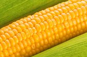 foto of corn cob close-up  - Young Ripe Sweet Corn on the Cob close up - JPG