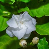 picture of gardenia  - White flower cape jasmine common gardenia and leaf - JPG