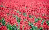 picture of celosia  - The Celosia Plumosa Flower meadow in garden - JPG