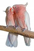 picture of cockatoos  - two major Mitchell cockatoos on a white background grooming eachother - JPG