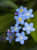 foto of forget me not  - Nature - JPG