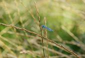 stock photo of carnivores  - The common damselfly a carnivorous insect eats its prey  - JPG