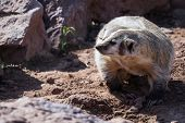 image of badger  - close up of a wild badger in red rock dirt