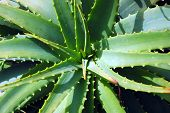 picture of aloe-vera  - Aloe vera plant in an outdoor garden - JPG