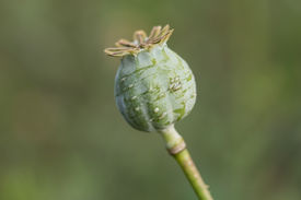foto of opiate  - harvest of opium from green poppy on the agriculture field - JPG