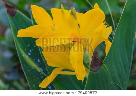 Flower  Canna (canna Indica L.)
