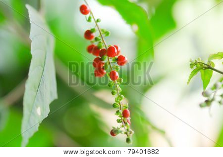 Rivina Humilis L. ,phytolaccaceae ., Rough Plant, Blood Berry,coral Berry