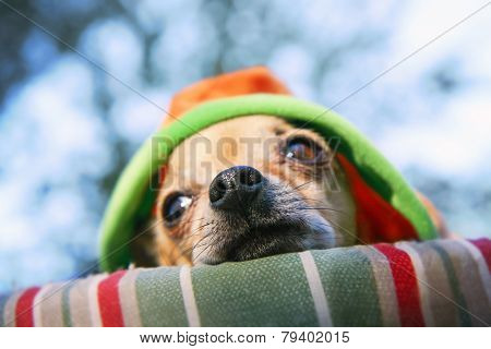 a cute chihuahua napping in a pet bed outdoors