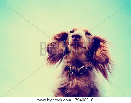 miniature long haired dachshund with blue sky done with a retro instagram vintage filter