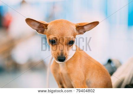 Toy Terrier Puppy Dog Close Up Portrait