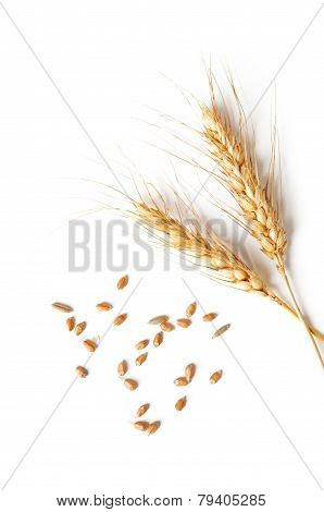 Spikelets And Grains Of Wheat On A White Background