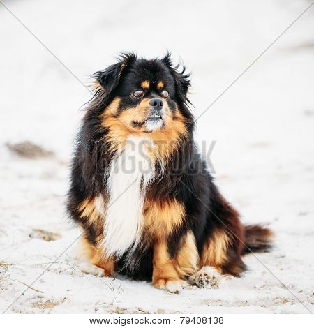 Black And Brown Colors Pekingese Pekinese Peke Dog