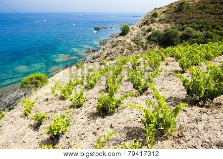 vineyard on Cap de Peyrefite near Cerbere, Languedoc-Roussillon, France