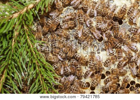 Bees In A Beehive