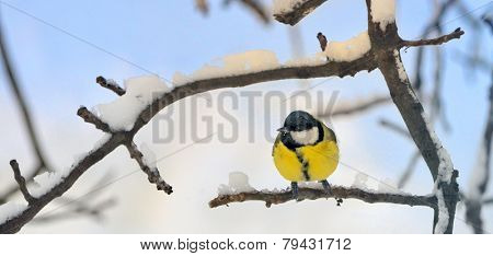 Great tit on a snowy branch in morning time