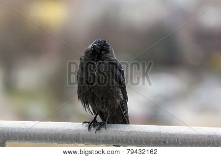 Wet Crow In The Rail Sitting On Balcony Rai