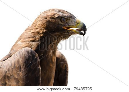 Wild Golden Eagle Profile Portrait Isolated