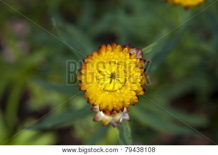 Strawflower  In The Garden