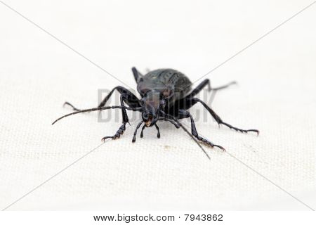 Portrait Of Ground Beetles Carabus Cancellatus