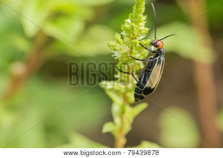 Striped Blister Beetles