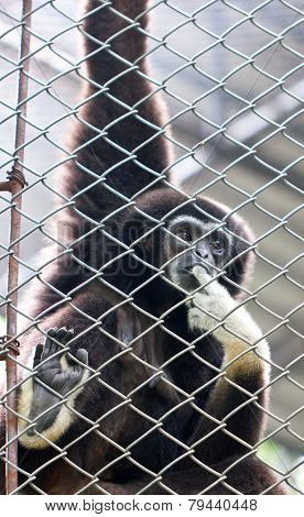 Pileated Gibbon Male Through The Baluster.