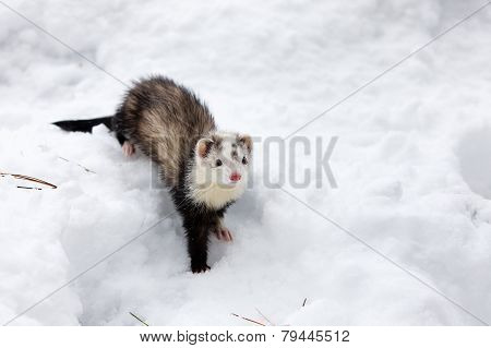Ferret In The Snow.