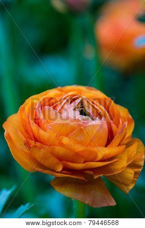 Orange Persian Buttercup Flower (ranunculus Asiaticus)