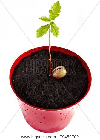 Sprout a young oak tree on flower pot isolated on white background