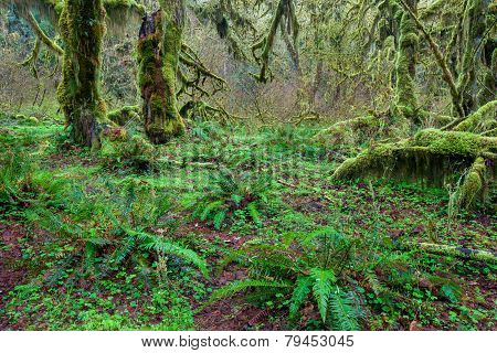 Tree covered by green lichen and fren in Olympic national park