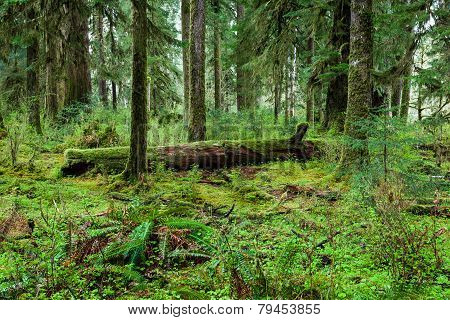 Green Forest In Olympic National Park