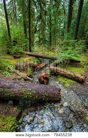 Rain Forest In Olympic National Park
