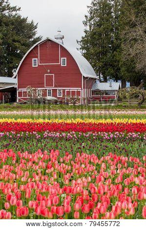 Colorful Tulip Field And Farmer Barn