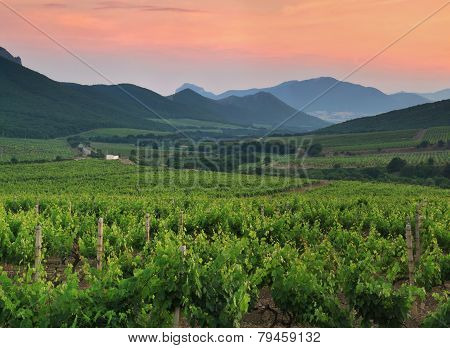 Panorama Of Vineyards