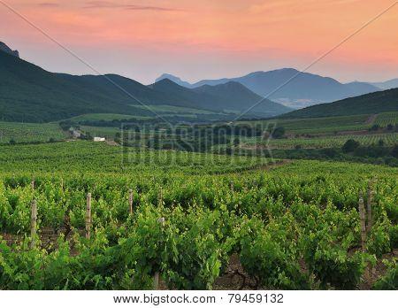 Panorama Of Vineyards