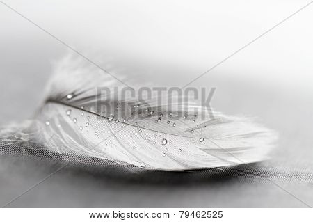 White Feather With Water Drops
