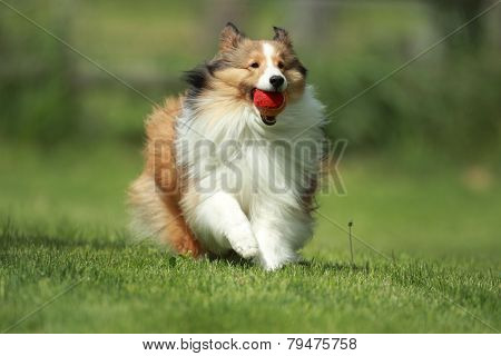 Sheltie with a ball