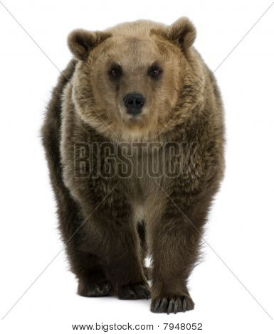 Female Brown Bear, 8 Years Old, Walking Against White Background
