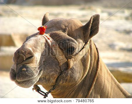 African camel in  Egypt