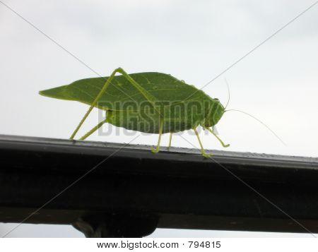 LeafBug1