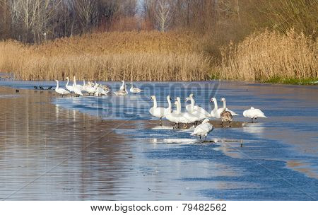 Swans On The River Coast