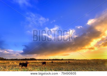 Cows In A Grassland In Morning Light